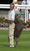 disco a portuguese water dog who is owned by richard curtis and a member of his dancing dogs display team