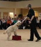 Whizzy a poodle cross who performs canine freestyle